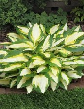 Hosta, Color Festival, 1or2g