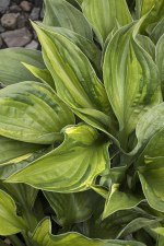 Hosta, Colored Hulk, 1gal