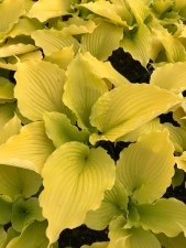 Hosta, Dancing Queen, 1gal