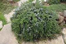 Rosemary, Huntington Carpet 1g