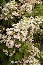 Hydrangea, Angels Blush, PT 5g