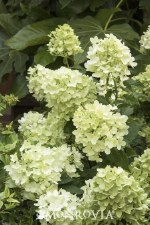 Hydrangea, Candy Apple, 2or3g