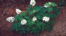 Hydrangea, Ellen Huff, 15g