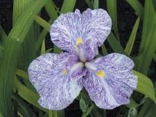 Iris, Imperial Magic, G, 1g