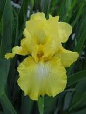 Iris, Harvest of Mem, G 1to3g