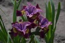 Iris, Miss Apple, S, 1or3g