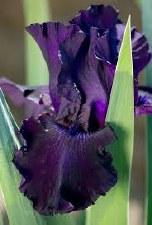 Iris, Ozark Rebounder, G 1g