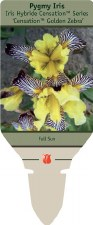 Iris, Golden Zebra, S 1or2g