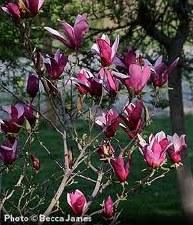 Magnolia, Jane, 3 gal
