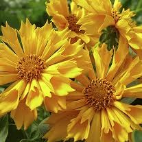 Coreopsis, Jethro Tull, 1or2g