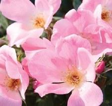 Rose, Knock Out® Blushing, 3g
