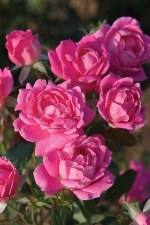 Rose, Knock Out® Pink Dbl 2/3g