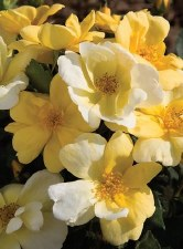 Rose, Knock Out® Sunny, 2/3g