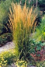 Grass, Karl Foerster Reed, 3 g