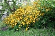 Kerria, Pleniflora, 5 gal