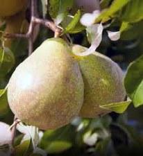 Pear, Kieffer, 15 gal
