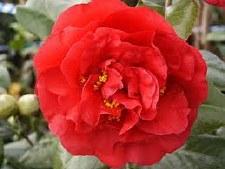 Camellia, Kramer's Supm PT, 5g