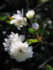 Rose, Lady Banksia, White, 1 g