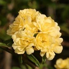 Rose, Lady Banksia, Yellow, 2g