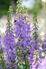 Ladybells, Gaudi Violet, 1g