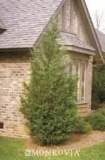 Cypress, Leyland, 15 gal