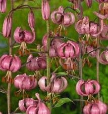 Lily, Martagon Pink, 3 gal