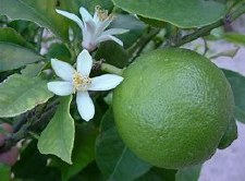 Lime, Mexican Bush, 3 gal