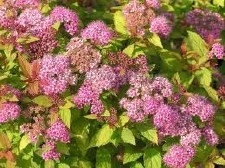 Spirea, Gold DP, 3 gal