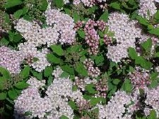 Spirea, Little Princess, 3 gal