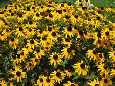 Rudbeckia, Little Suzy, 1g
