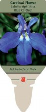 Lobelia, Great Blue, 1 or 2g
