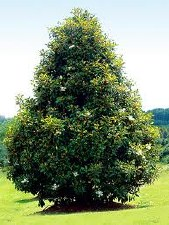 Magnolia, Brackens Brown 45g