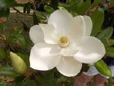 Magnolia, Claudia W, 15 gal
