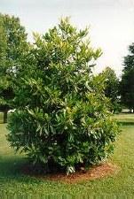 Magnolia, Little Gem (A), 15g