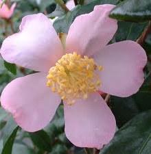 Camellia, Maiden Blush, 7 gal