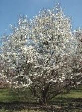 Magnolia, Merrill, 8-10'