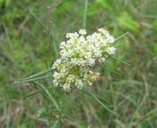 Milkweed, Whorled, 1g