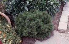 Pine, Mugo Pumilio, 2 gal