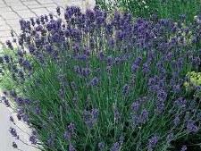 Lavender, Munstead, 1 gal