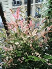 Nandina, Twilight, 1 gal