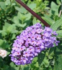 Buddleia, Nanho Purple, 2or3g