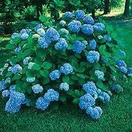 Hydrangea, Nikko-Blue, 3g