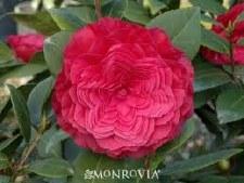 Camellia, Nuccios Bella, 5 g