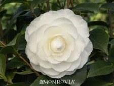 Camellia, Nuccio's Gem, 15 gl