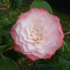 Camellia, Nuccio's Pearl, 15 g