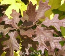 Oak, Charisma Nuttall, 10 gal