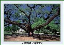 """Oak, Live, 2-2.5"""""""