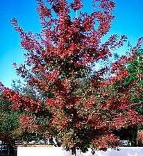 Oak, Shumard, 15 gal