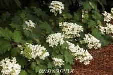 Hydrangea, Pee Wee Oak, 7 gal