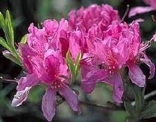 Azalea, Orchid Lights, 5 gal